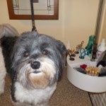 Havanese with grooming supplies